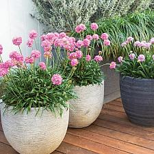 Armeria pseud. 'Dreameria™ Daydream' - Thrift, Sea Pink