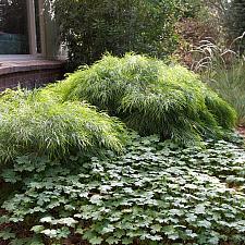 Acacia cognata 'Cousin Itt' - Little River wattle