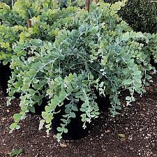 Acacia podalyriifolia - Pearl acacia