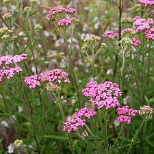 Achillea millefolium 'Pink Island Form' - Yarrow