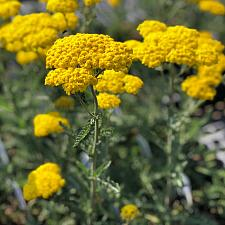 Achillea 'Little Moonshine' - Yarrow