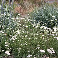 Achillea millefolium 'King Range' - Yarrow