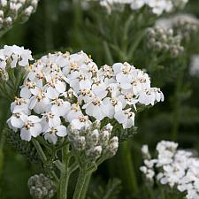 Achillea millefolium 'Mesa Blanca' - Yarrow