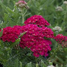 Achillea millefolium 'Pomegranate' - Yarrow
