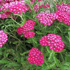 Achillea millefolium 'New Vintage Violet' - Yarrow