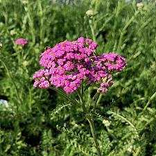 Achillea millefolium 'Purple Form' - Yarrow