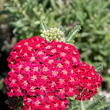 Achillea 'Red Velvet' - Yarrow