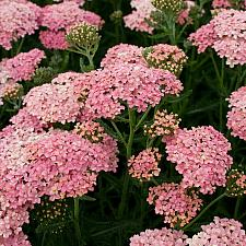 Achillea 'Salmon Beauty' - Yarrow
