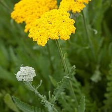 Achillea 'Sunbeam' - Yarrow