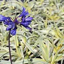 Agapanthus 'Gold Strike' - Lily of the Nile