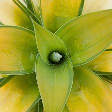 Agave attenuata 'Kara's Stripes' - Variegated fox tail agave
