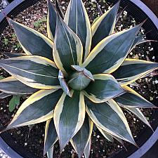 Agave 'Snow Glow' - Agave