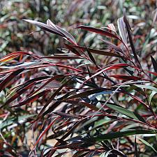 Agonis flexuosa 'Burgundy' - Willow myrtle