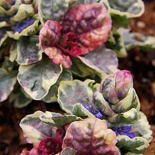 Ajuga 'Party Colors' - Bugle