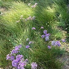 Allium unifolium - Single leaf onion