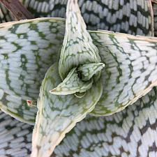 Aloe 'Delta Lights' - Delta Lights Aloe