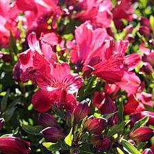Alstroemeria 'Inca Lolly' - Peruvian Lily