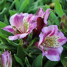 Alstroemeria 'Inca Mystic' - Peruvian lily
