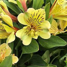 Alstroemeria 'Inca Rio'® - Peruvian lily