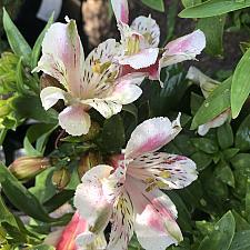 Alstroemeria 'Inca Vienna' - Peruvian lily