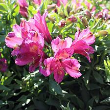 Alstroemeria 'Inca Yuko' - Peruvian lily