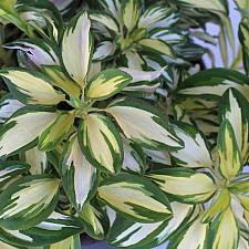 Alstroemeria 'Rock and Roll'® - Rock and Roll® alstroemeria