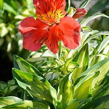 Alstroemeria 'Little Miss Zoe' - Peruvian lily