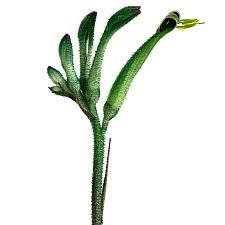 Anigozanthos viridis 'Phar Lap' - Kangaroo paw