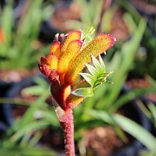 Anigozanthos Pot-A-Roo™ 'Bright Orange' - Kangaroo Paw