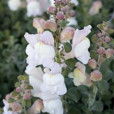 Antirrhinum hispanicum - Snapdragon