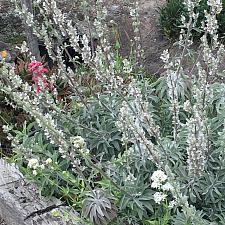 Salvia apiana - White sage