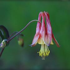 Aquilegia canadensis 'Little Lanterns' - Columbine