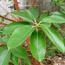Arbutus menziesii - Pacific madrone