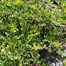 Arctostaphylos uva-ursi 'Green Supreme' - Green Supreme bearberry