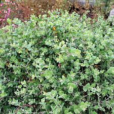 Arctostaphylos cruzensis - Arroyo de la Cruz
