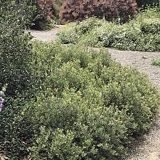 Arctostaphylos pumila 'Wavelength' - Manzanita