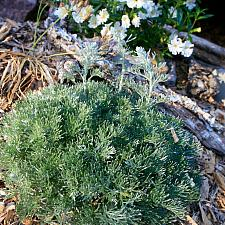 Artemisia pycnocephala 'David's Choice' - Coastal sagebrush