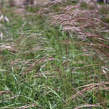 Aristida purpurea var. purpurea - Purple three-awn
