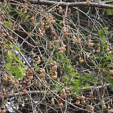 Aristolochia californica - Dutchman's pipe