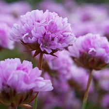 Armeria alliacea - Jersey thrift