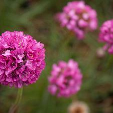 Armeria 'Bright Rose' - Thrift