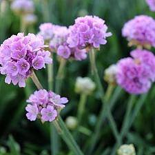 Armeria pseud. 'Dreameria™ Sweet Dreams' - Thrift, Sea pink