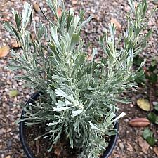 Artemisia tridentata - Sage brush