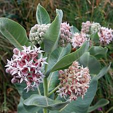 Asclepias speciosa - Showy Milkweed