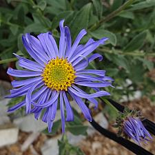 Aster x frikartii 'Monch' - Aster