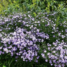 Aster 'Little Carlow' - Aster