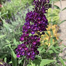 Buddleja davidii 'Black Knight' - Butterfly bush