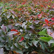 Berberis aquifolium 'Compacta' - Compact Oregon grape