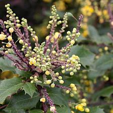 Berberis aquifolium 'Golden Abundance' - Oregon grape