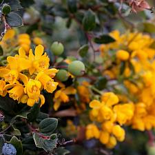 Berberis darwinii - Darwin barberry